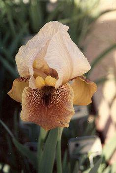 'Point Well Taken' Arilbred Iris