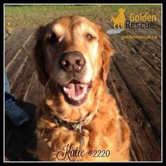 AVAILABLE FOR ADOPTION Katie #2220 Hi allmy name is Katie and Im eight years old.  I am now with my amazing foster family and am settling in more and more each day.  They live in a great area but it is very busy and Im not quite used to all the comings and goings yet so Im a bit timid at times and a little fearful of all the new stuff.  Once I get to know the ropes and the people around me Im fine and am very sweet which is my natural nature.  Im also good with other dogs once I realize they…
