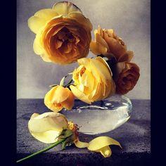 Roses from my Garden. Thursday 2nd August 2012. #roses #garden