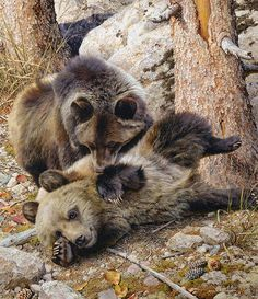 """""""Rough and Tumble"""" by Carl Brenders Published by The Greenwich Workshop.  Carl Brenders is a naturalist and painter, born near Antwerp, Belgium. The painter is most famous for his detailed and lifelike paintings of wildlife."""