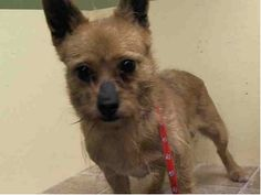 Manhattan Center    FOXY - A0997046   I am an unaltered female, tan Pomeranian and West Highland White Terrier.   The shelter staff think I am about 6 years old.   I weigh 18 pounds.   I was found in NY 10460.   I have been at the shelter since Apr 18, 2014 https://www.facebook.com/Urgentdeathrowdogs/photos_stream