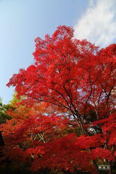 京都  小倉山  常寂光寺。
