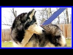 HOW TO PROTECT A DOG FROM WOLVES ? | Fan Friday 246 Q&A