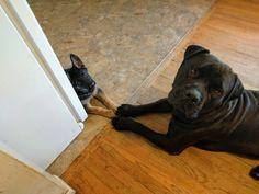 My mastiff got a little sister : aww