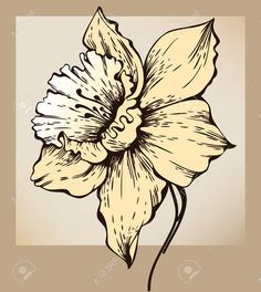 Narcissus Flower Stock Illustrations, Cliparts And Royalty Free ...