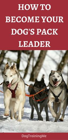 How to become your dog's pack leader and put and end to bad behavior? Learn the 5 things you should do so you can take control of your dog and be able to train your dog effectively! Click through for the info now.