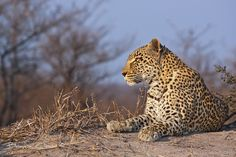 Sabi Sand Game Reserve is world renowned for its big cat viewing, there are few places world wide where you will view and photograph leopards like you can here, this is a truly special reserve.