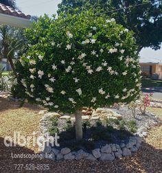 St Petersburg and Sarasota Landscape Services Landscape Trees, Arbutus Tree, Outdoor Bonsai Tree, Blooming Trees, Landscape Services, Spring Blooming Trees, Growing Gardenias, Plant Decor, Gardenia Trees