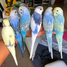 Cute Birds, Pretty Birds, Beautiful Birds, Animals Beautiful, Budgie Parakeet, Budgies, Cute Baby Animals, Animals And Pets, Australian Parrots