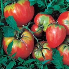 Garden seeds, plants, accessories including vegetable seeds, perennials, annuals, fruits, bulbs, roses and trees, Free Shipping on orders over $75, learn miniature and container gardening, garden planning for every season.