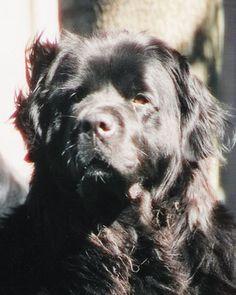 Newfoundland dog, Tinker