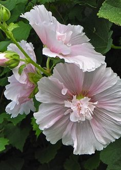 Soft pink Hollyhocks. So easy to grow & they re-seed.