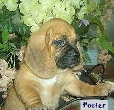 Image result for bassugg dog