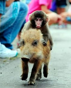 Baby Monkey! Riding on a pig! Hmmm, I have all sorts of questions on this pic! Ha Ha!