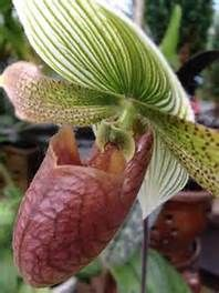 Ruby Leopard Slipper Orchid - Bing images