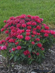 Monarda Cherry Pops Bee Balm – Height Spread Full Sun-Part Shade, Zones In midsummer, Cherry Pops forms a solid dome of cherry red, flowers on strong, well-branched stems. The dark green foliage forms an upright clump that will fill out Sun Loving Plants, Sun Plants, Garden Plants, Hummingbird Garden, Flowers Perennials, Native Plants, Flower Beds, Dream Garden, Lawn And Garden