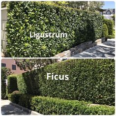 Small Garden: 11 Best Hedges for Screening and Privacy