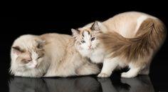 El Hogar de los Ragdolls en Colombia Beautiful Cats, Cute Animals, Pets, Factory Farming, Super Cute Animals, Kittens, Colombia, Home, Pretty Cats