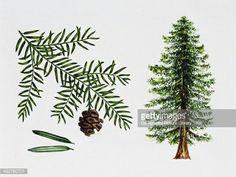 Sequoia sempervirens (Coast redwood)