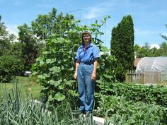 How to grow butternut squash on a trellis - from the website squarefootabundance.com