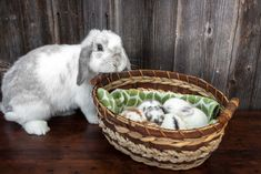 Momma Holland lop bunny (frosty) and her four baby bunnies.