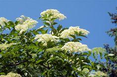 Holunder trägt nicht nur schöne Blüten, sondern liefert auch gesunde Früchte. Wir geben Tipps zum Pflanzen, Vermehren und Schneiden des traditionsreichen Gartenstrauchs.