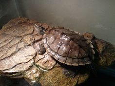 Mississippi map turtle - about 3 years