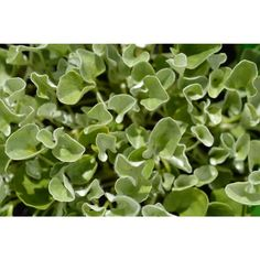 Silver Falls is a beautiful, cascading silver foliaged plant which has excellent drought and heat tolerance. Dichondra is a perfect ground cover growing to 2 - high with a spread of wi Types Of Flowers, Types Of Plants, Silver Falls, Ground Covering, New Roots, Ground Cover Plants, Evergreen, How To Dry Basil, Perennials