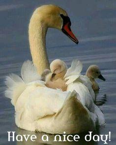 Beautiful swan and cygnets Beautiful Swan, Beautiful Birds, Animals Beautiful, Nature Animals, Animals And Pets, Wild Life Animals, Cute Baby Animals, Funny Animals, Photo Animaliere