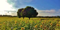 Sunflower Farm in Ligao City, Albay