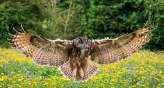 Eagle owl - Eagle owl in flight over a meadow