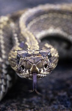 Neotropical Rattlesnake - Crotalus durissus (Viperidae) is a neotropical species of rattlesnake with several subspecies along its range; all of them are venomous.