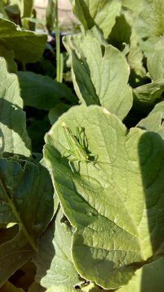 Kobylka zelená (Tettigonia viridissima) Foceno před budovou ZŠ Ratíškovice