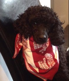 Lots more handsome Bandana dogs too....