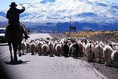 Arriando ovejas, ruta 22, Zapala.