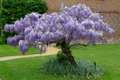 Wisteria Sinensis, aslo known as Chinese Wisteria is a woody, deciduous, perennial climbing vine in the genus Wisteria, native to China. While this plant is a climbing vine, it can be trained into a tree-like shape, usually with a wavy trunk and a flattened top.