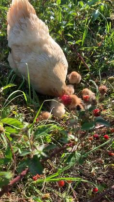 So happy! If this happend to you, hit the like button :) Beautiful Chickens, Cute Chickens, Raising Chickens, Chickens Backyard, Beautiful Birds, Animals Beautiful, Raising Goats, Urban Chickens, Beautiful Farm