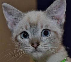 Iris is an adoptable Siamese Cat in Shawnee, KS. �$45 Cat and Kitten Special!!! (Specialty cats and kittens are excluded) Fully vetted cats and kittens born prior to January 15th, 2013� (6 months or o...