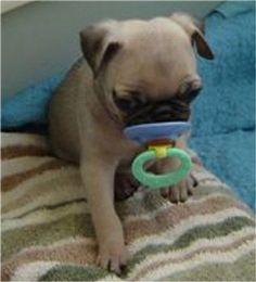 pugs - Google Search