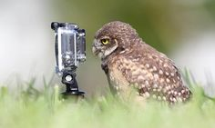 Tiny owls stage their own filming session with a GoPro