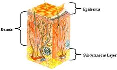 Illustration, indicating epidermis, dermis, and subcutaneous layer. Skin Anatomy, Subcutaneous Tissue, Cut Crease Makeup, Layers Of Skin, Cosmetology, Medical, Science, Illustration, Medicine