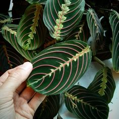 May 2015 - appreciating my prayer plant at work. Prayer Plant, Perfect Plants, Yellow Leaves, Plant Needs, My Prayer, Propagation, Low Lights, Plant Care, Houseplants