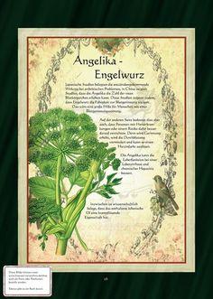 Engelwurz - Angelika