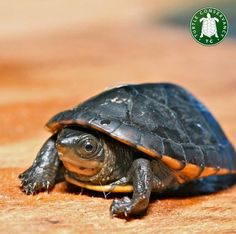 If you're feeling those #MondayBlues we're sure the sweet face of this White-lipped Mud Turtle (Kinosternon leucostomum) from Nicaragua may help lift your spirits! #PetOxy #ShippingWorldWide #OxytocinsDelivered #PetCareProducts