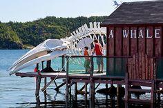 Whale Skeleton At The Prime Berth Fishery Heritage Centre Near Twillingate On The North Coast, Newfoundland, Canada - eStock