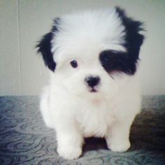 This is the cutest freaking puppy in the universe!! I may trade one of my children!