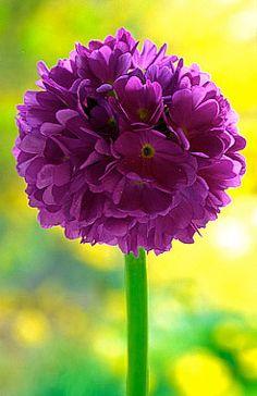 Flowers...Flowers...Flowers... Primula