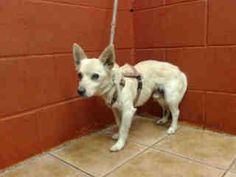 PLEDGES AND RESCUE NEEDED! A4789170 I don't have a name yet and I'm an approximately 4 year old male chihuahua lh. I am not yet neutered. I have been at the Downey Animal Care Center since January 5, 2015. I will be available on January 9, 2015. You can visit me at my temporary home at D620. https://www.facebook.com/photo.php?fbid=790569131023421&set=a.621812584565744&type=3&theater