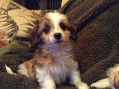 Prada is an adoptable Maltese Dog in Mundelein, IL. Prada is a 10 week old female Morky (Yorkie/Maltese/Papillon mix). She weighs about 3 lbs and is so very sweet. The Adoption fee is $400 and that c...