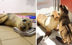When Harrington the emaciated sea lion was rescued, a miraculous recovery was all the Pacific Marine Mammal Center (PMMC) team could hope for. Animal Rescue Stories, Pet Health, Animal Shelter, Miraculous, Champs, Mammals, Recovery, Pup, Lion